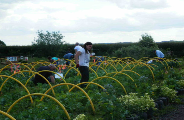 Volunteers putting up pea netting