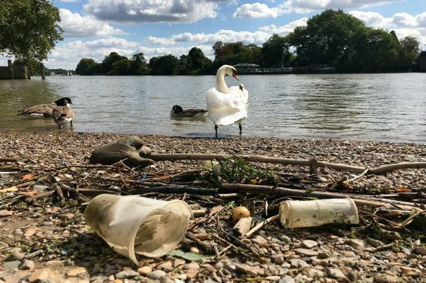 A swan standing on the bank of a river with plastic cups in close view